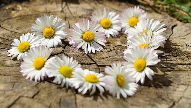 daisy-712898_640.jpg