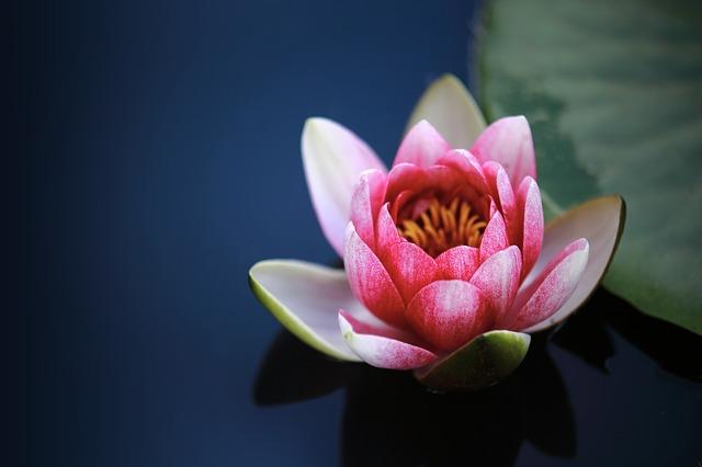 water-lilies-1825477_640.jpg
