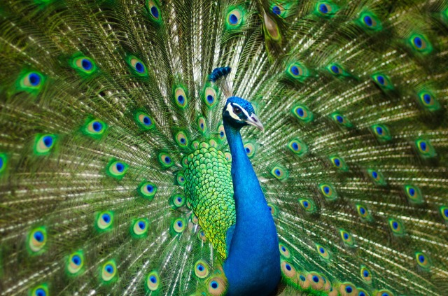 beautiful-male-peacock-2363750_1920.jpg