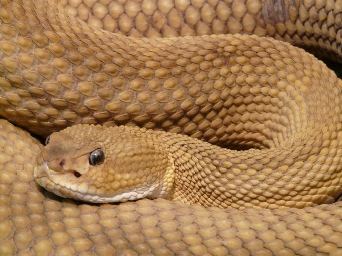 basilisk-rattlesnake-7304_1920.jpg
