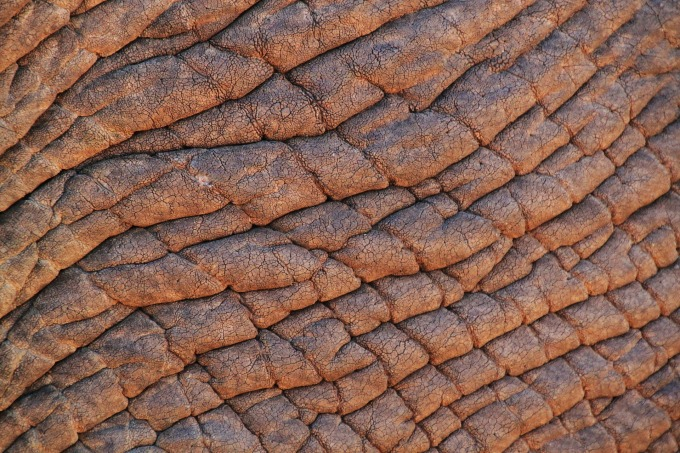 elephant-skin-245071_1920.jpg