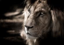 white-lion-2889308_1920